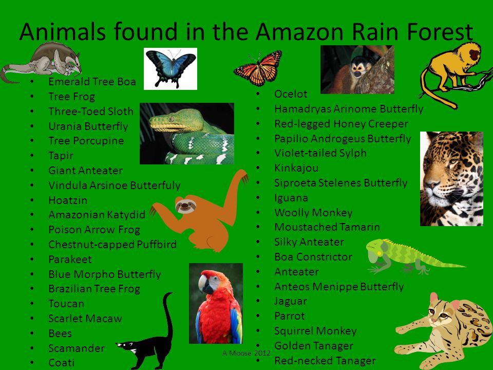Animals found in the Amazon Rain Forest