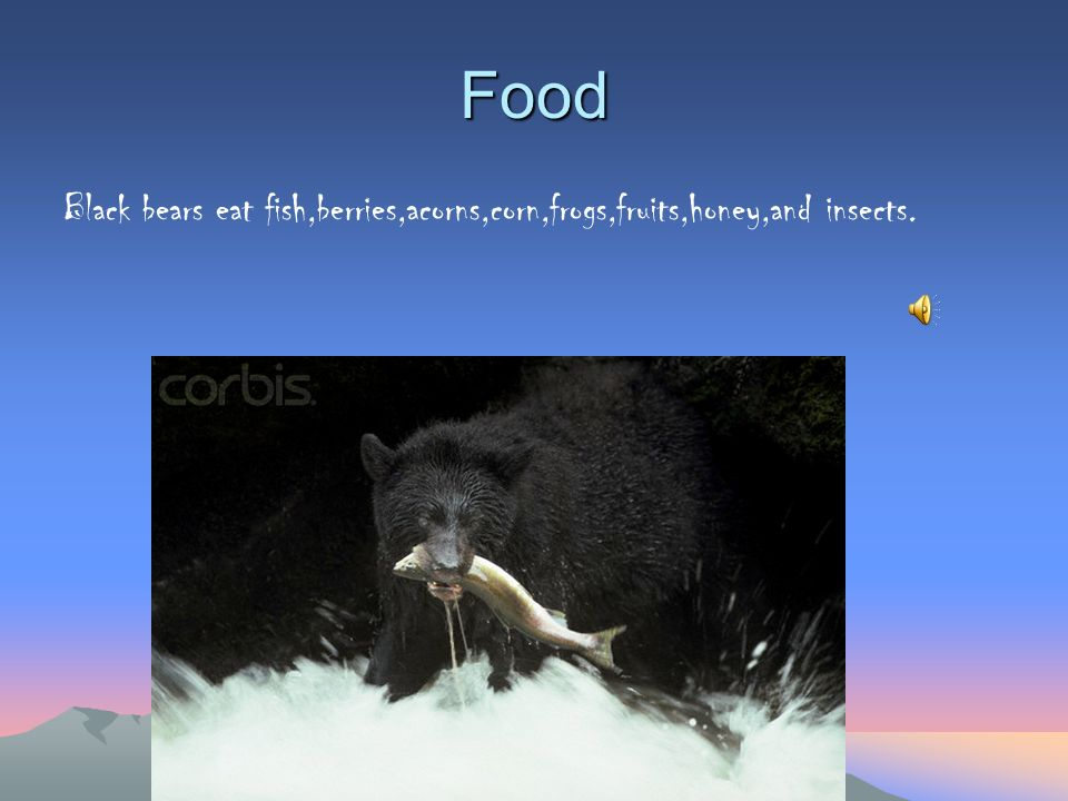 Food Black bears eat fish,berries,acorns,corn,frogs,fruits,honey,and insects.