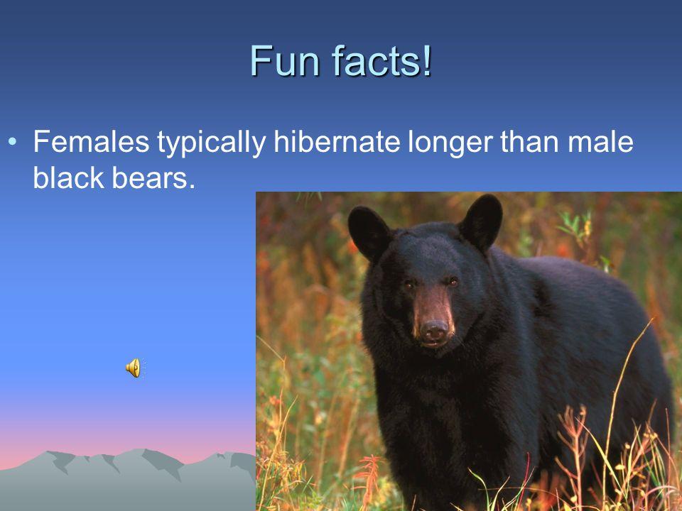 Fun facts! Females typically hibernate longer than male black bears.