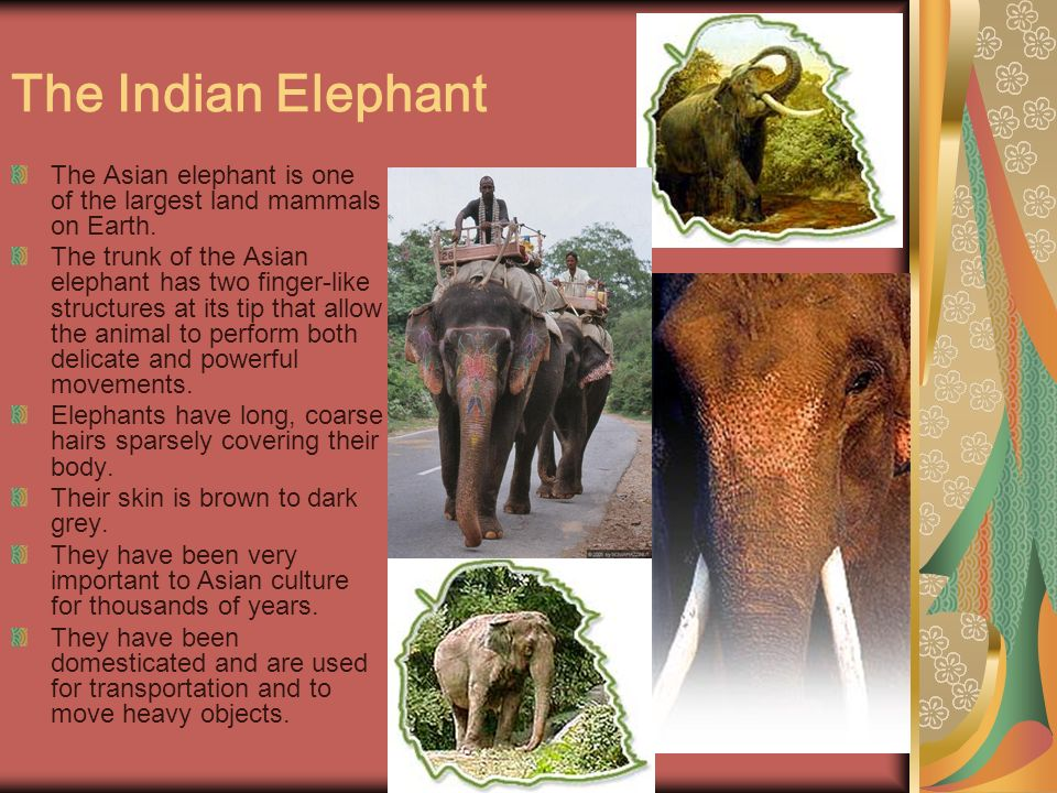 The Indian Elephant The Asian elephant is one of the largest land mammals on Earth.