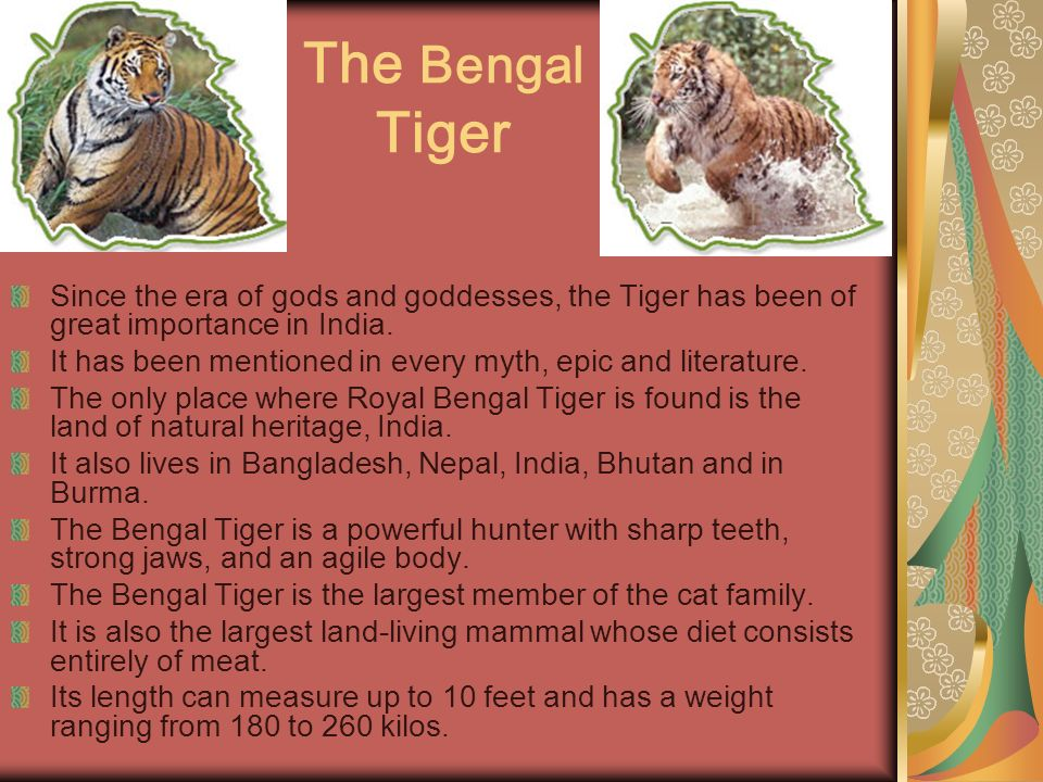 The Bengal Tiger Since the era of gods and goddesses, the Tiger has been of great importance in India.