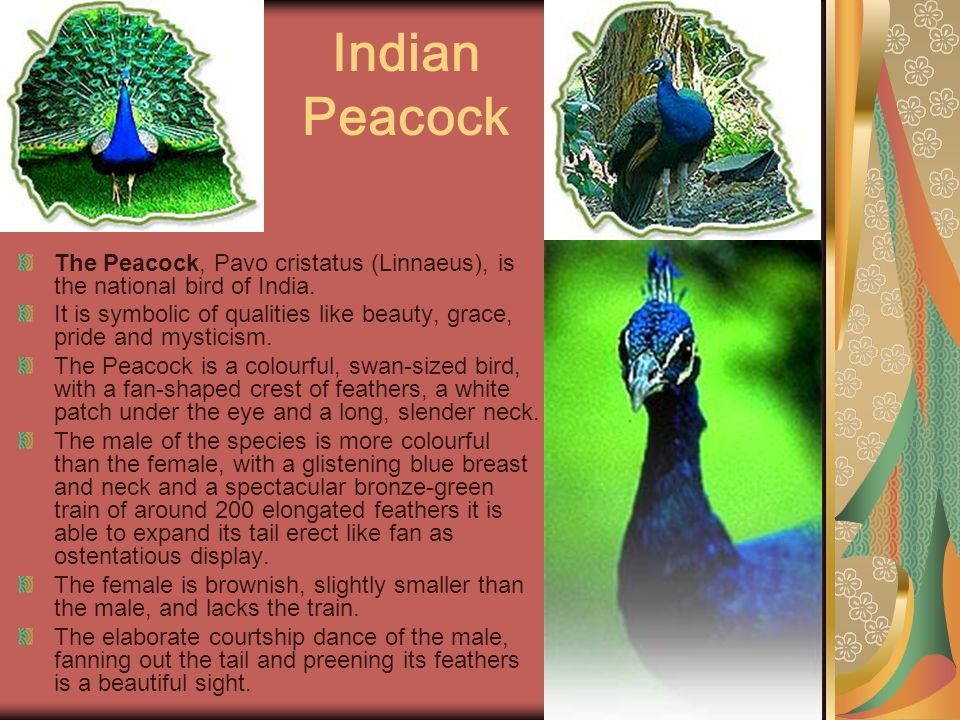 Indian Peacock The Peacock, Pavo cristatus (Linnaeus), is the national bird of India.