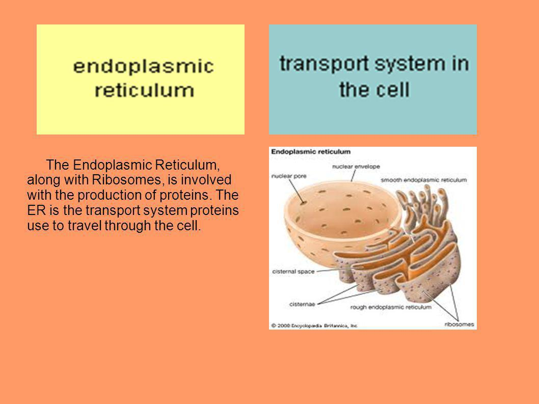 The Endoplasmic Reticulum, along with Ribosomes, is involved with the production of proteins.