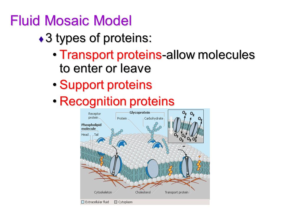 Fluid Mosaic Model 3 types of proteins: