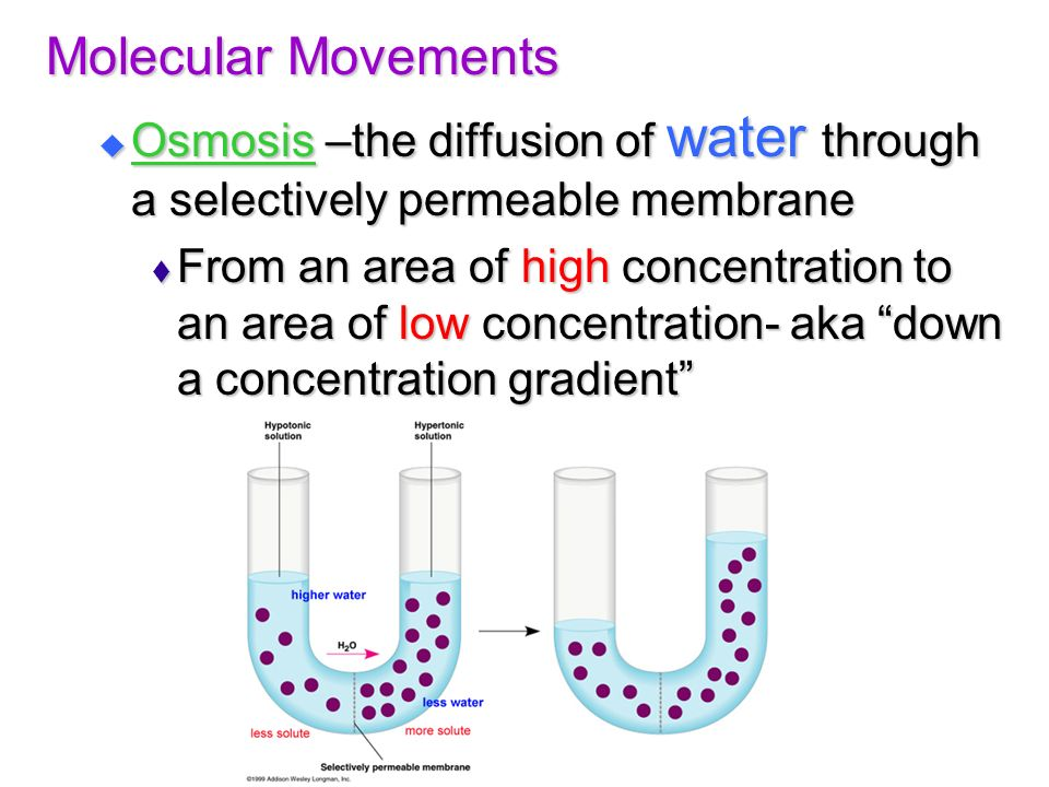 Molecular Movements Osmosis –the diffusion of water through a selectively permeable membrane.