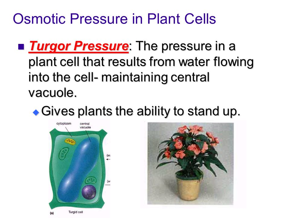 Osmotic Pressure in Plant Cells