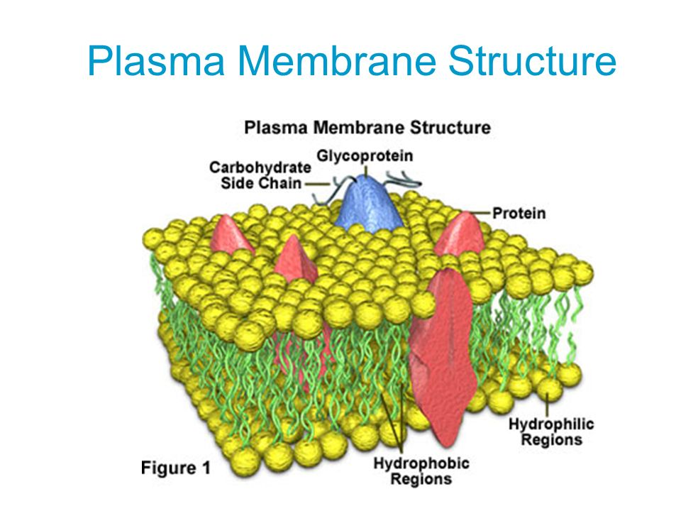phospholipid structure in a cell membrane wwwpixshark