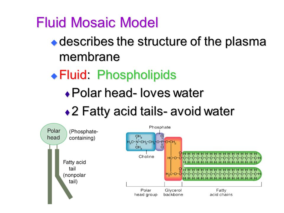 Fluid Mosaic Model describes the structure of the plasma membrane