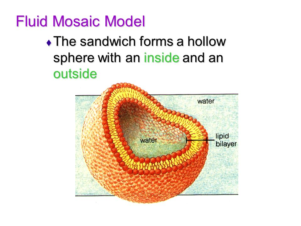 Fluid Mosaic Model The sandwich forms a hollow sphere with an inside and an outside