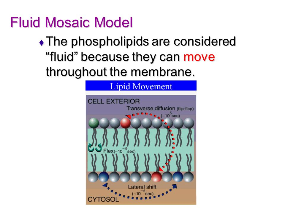 Fluid Mosaic Model The phospholipids are considered fluid because they can move throughout the membrane.