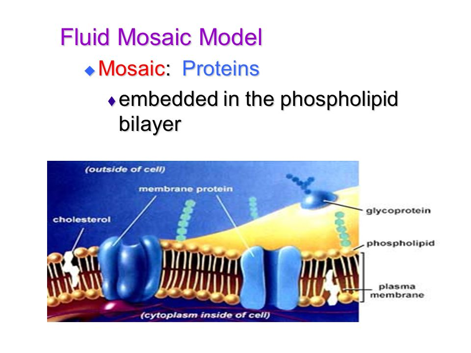 Fluid Mosaic Model Mosaic: Proteins