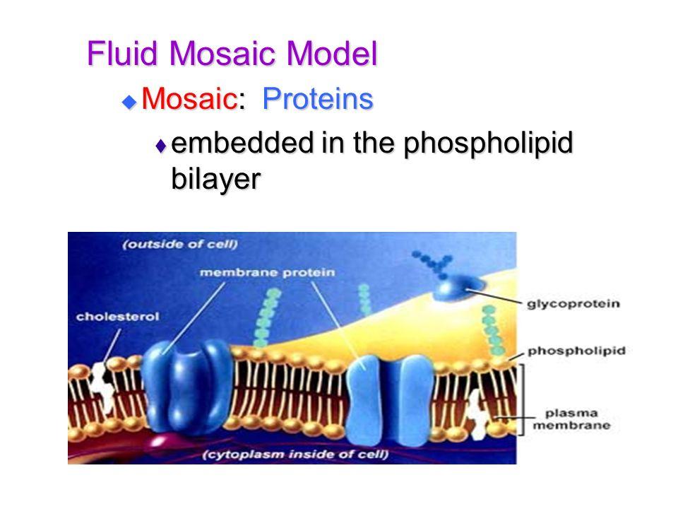 Fluid Mosaic Model Mosaic: Proteins