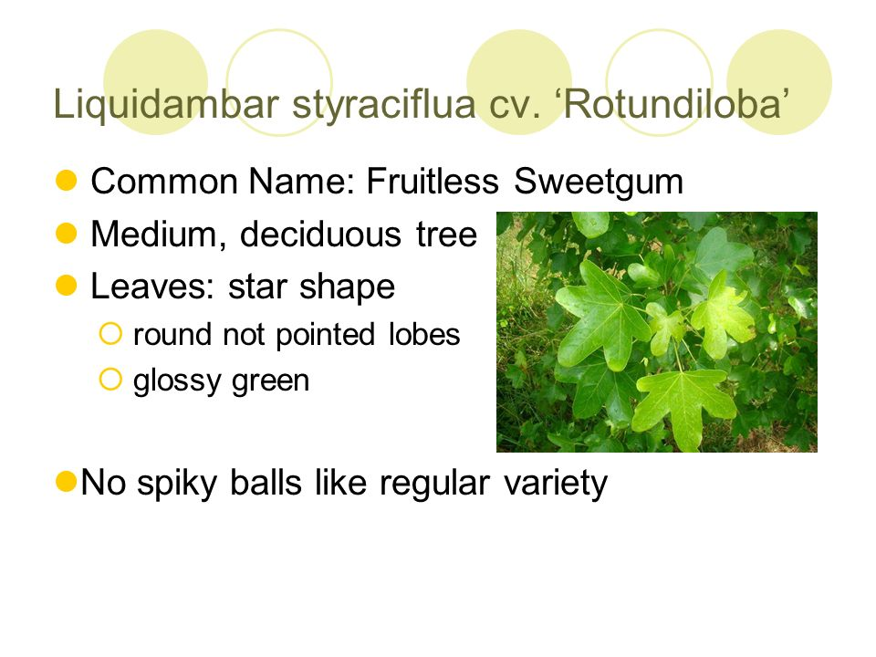 Liquidambar styraciflua cv. 'Rotundiloba'