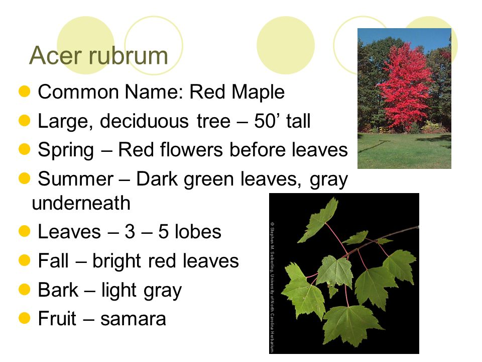 Acer rubrum Common Name: Red Maple Large, deciduous tree – 50' tall