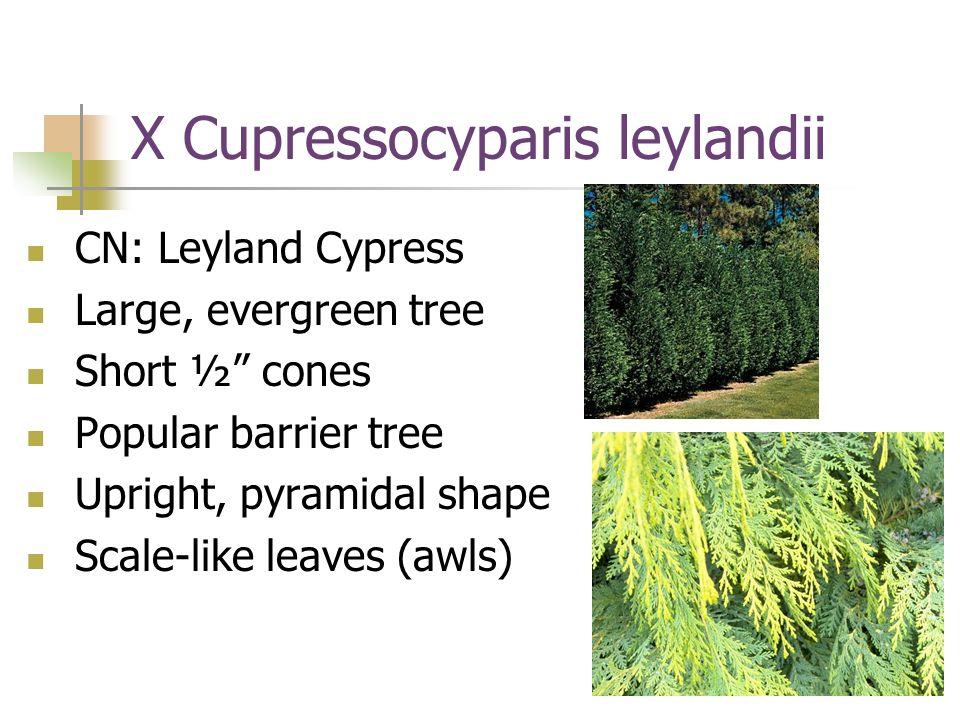 X Cupressocyparis leylandii