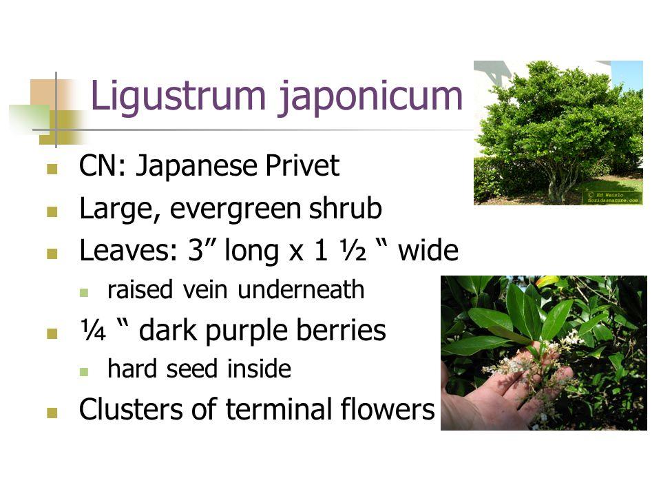 Ligustrum japonicum cb.