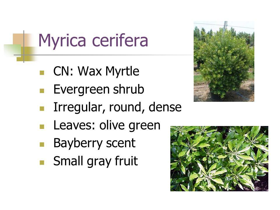 Myrica cerifera CN: Wax Myrtle Evergreen shrub Irregular, round, dense