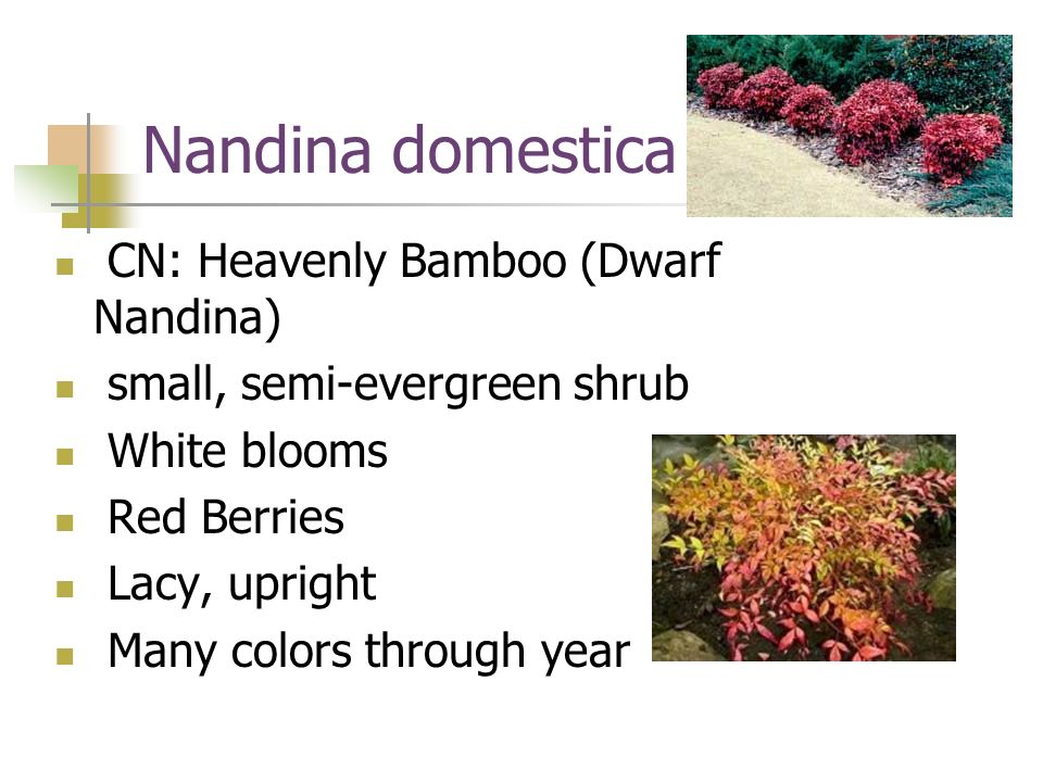 Nandina domestica CN: Heavenly Bamboo (Dwarf Nandina)