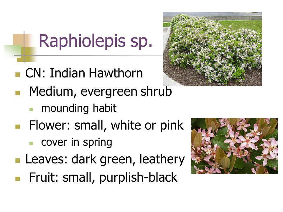 Raphiolepis sp. CN: Indian Hawthorn Medium, evergreen shrub