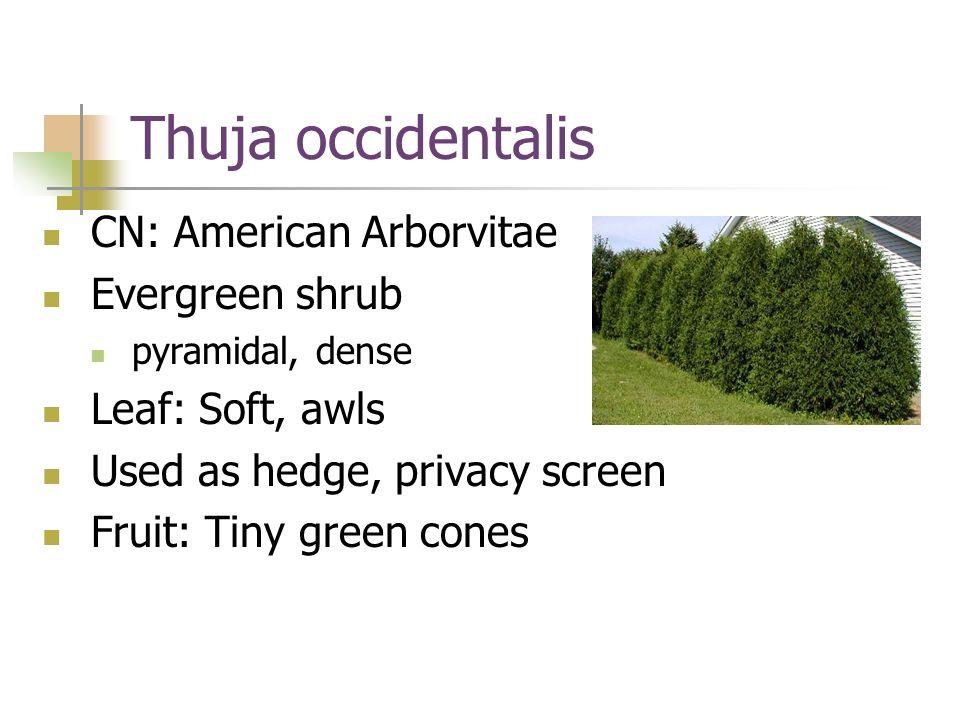 Thuja occidentalis CN: American Arborvitae Evergreen shrub
