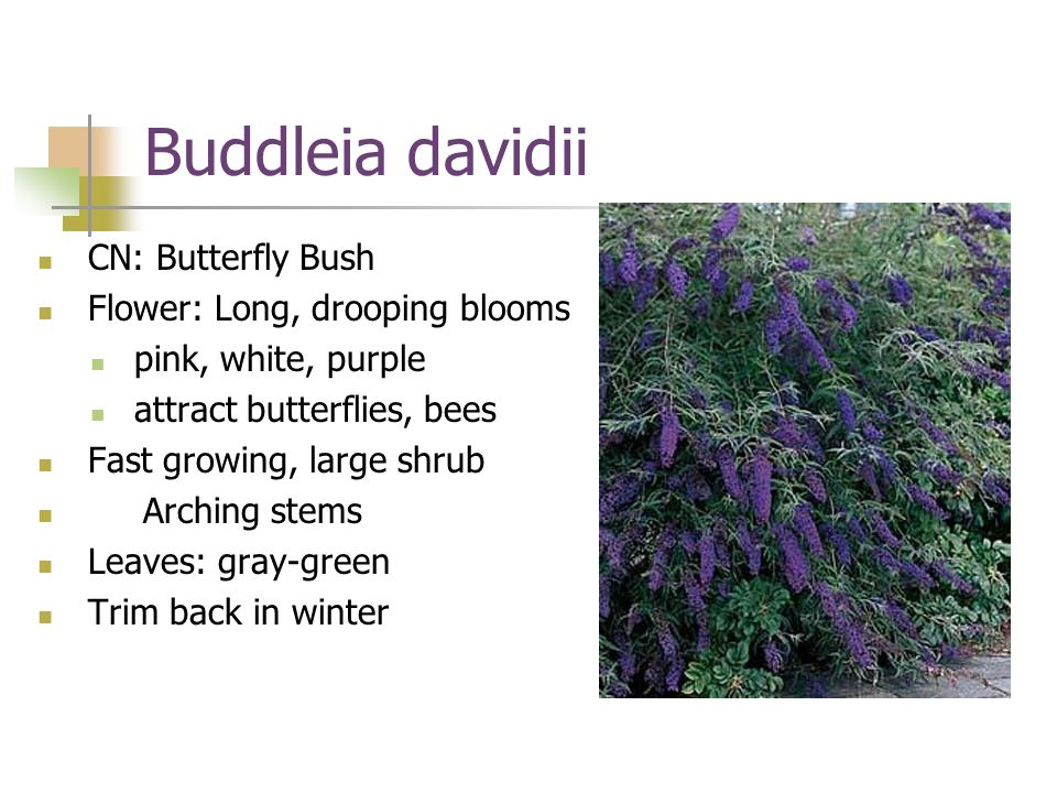 Buddleia davidii CN: Butterfly Bush Flower: Long, drooping blooms