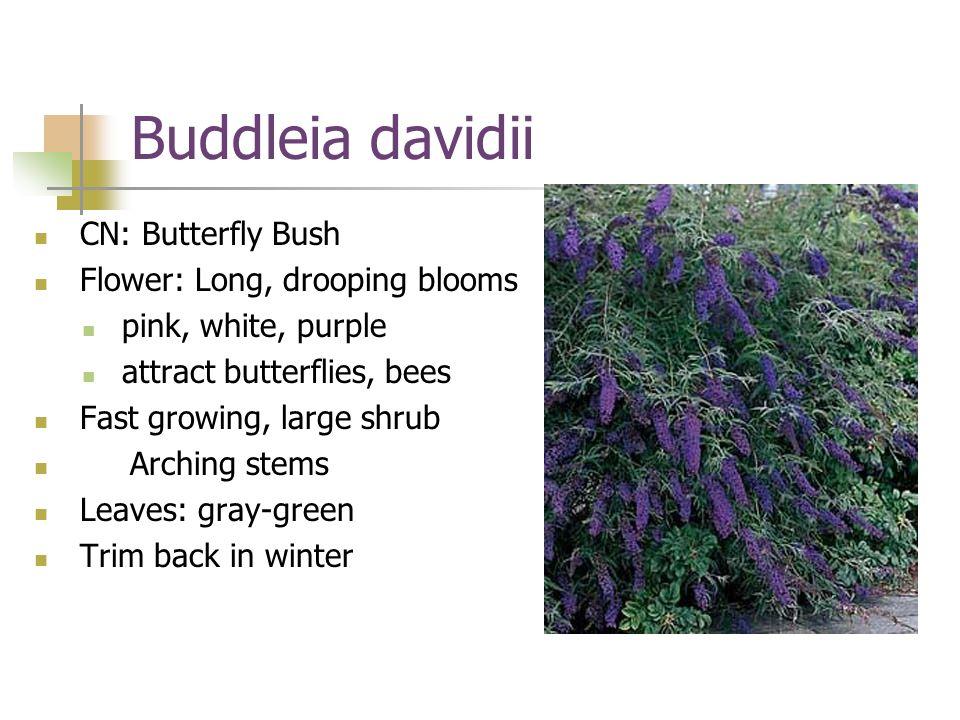 Buddleia davidii CN: Butterfly Bush Flower: Long, drooping blooms