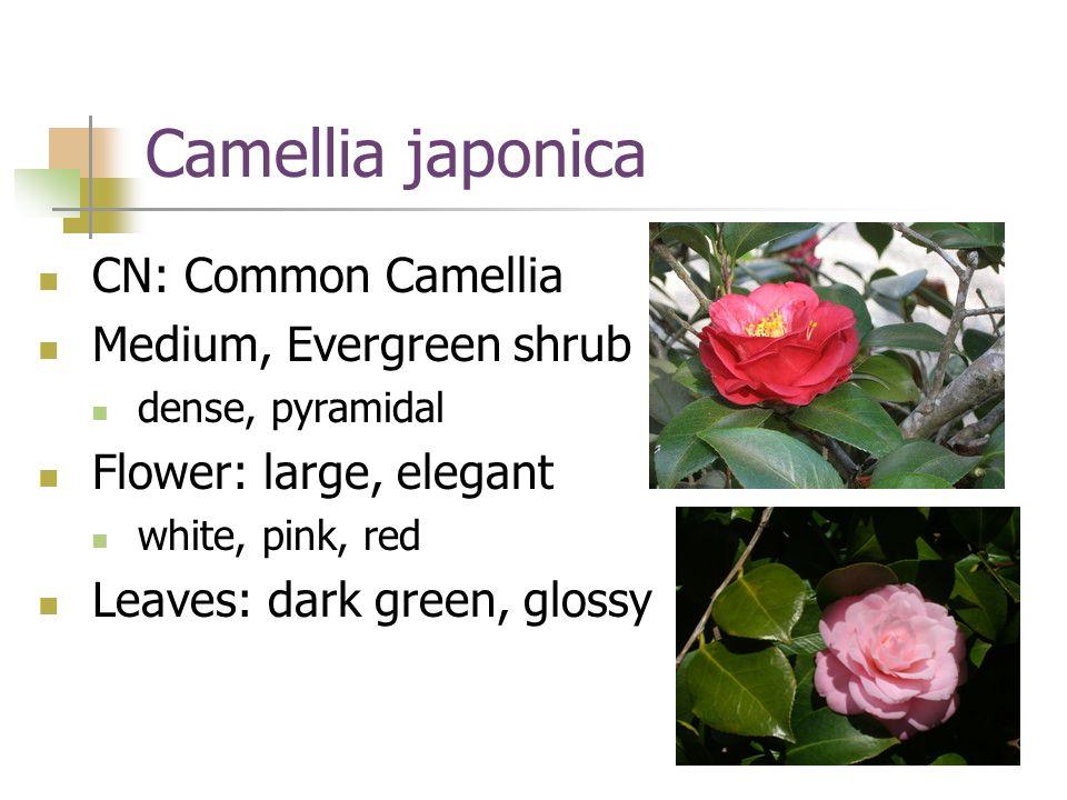 Camellia japonica CN: Common Camellia Medium, Evergreen shrub