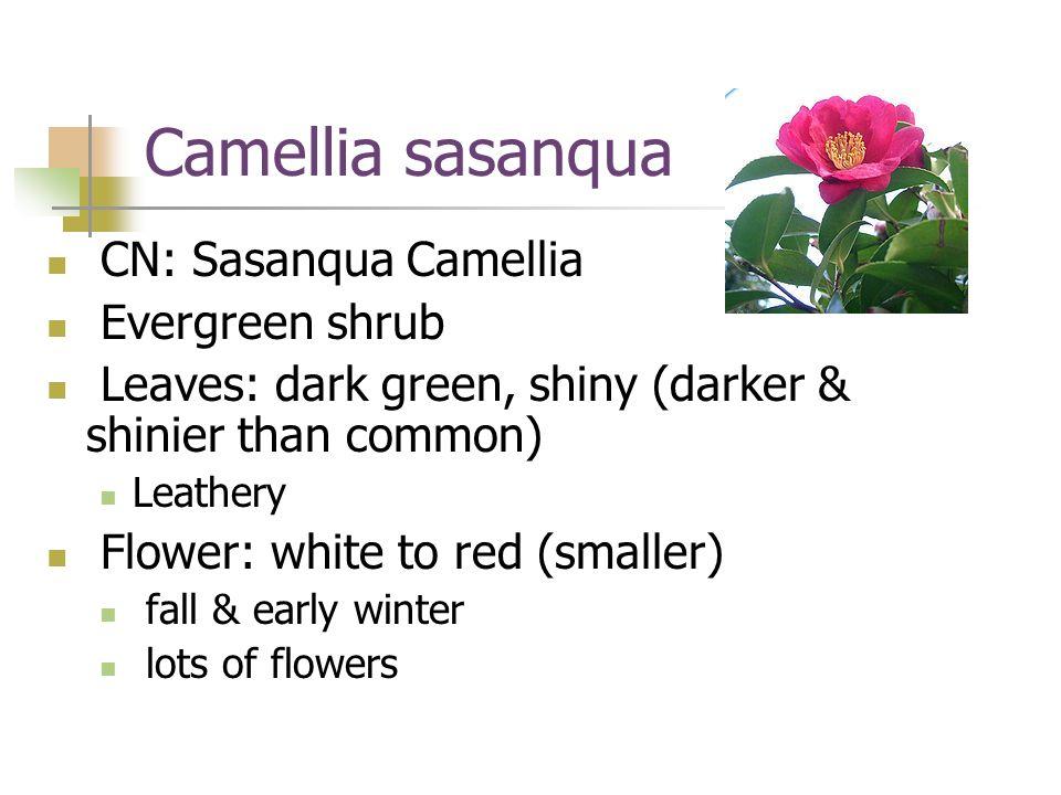 Camellia sasanqua CN: Sasanqua Camellia Evergreen shrub
