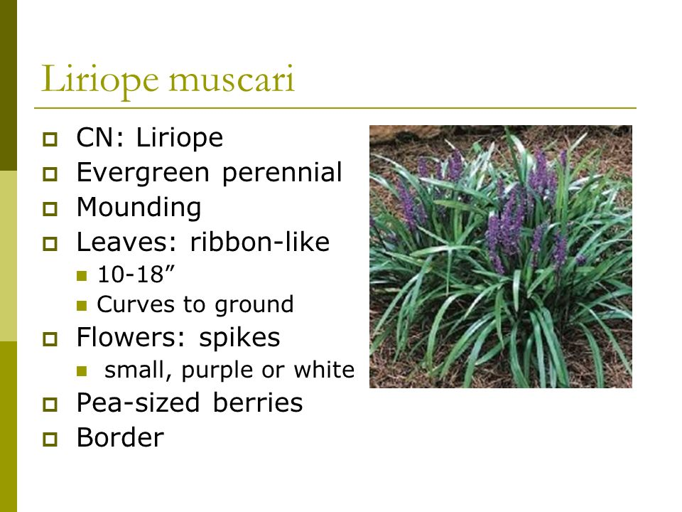 Liriope muscari CN: Liriope Evergreen perennial Mounding