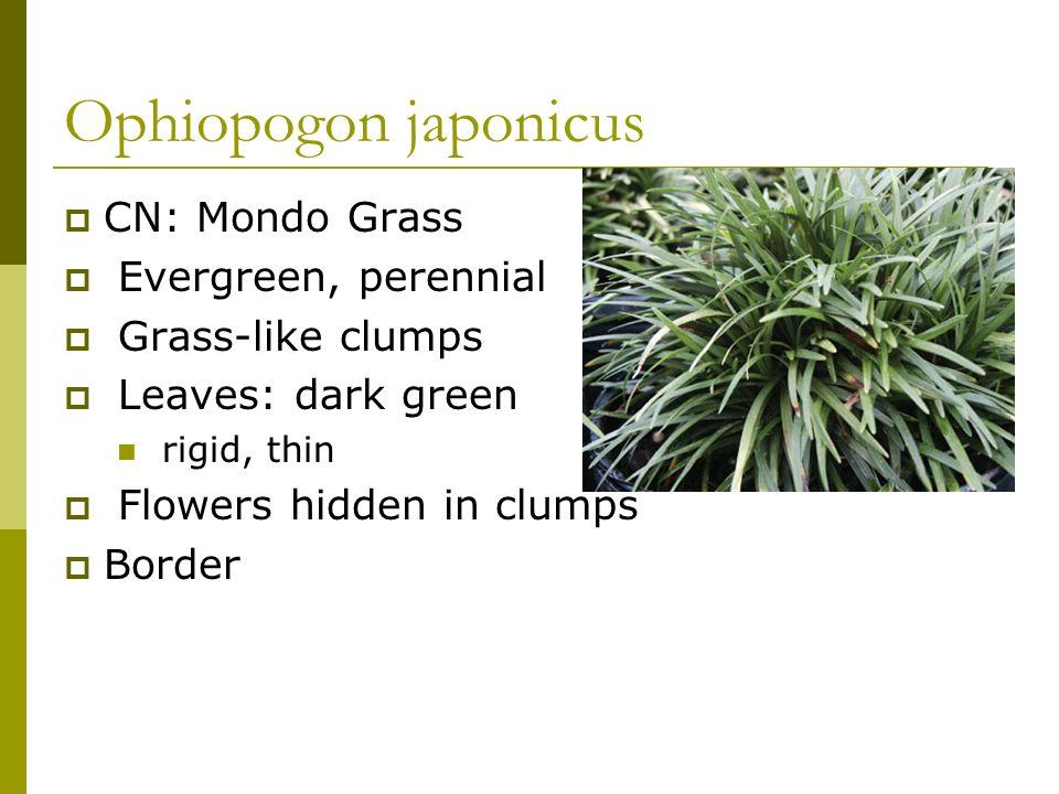 Ophiopogon japonicus CN: Mondo Grass Evergreen, perennial