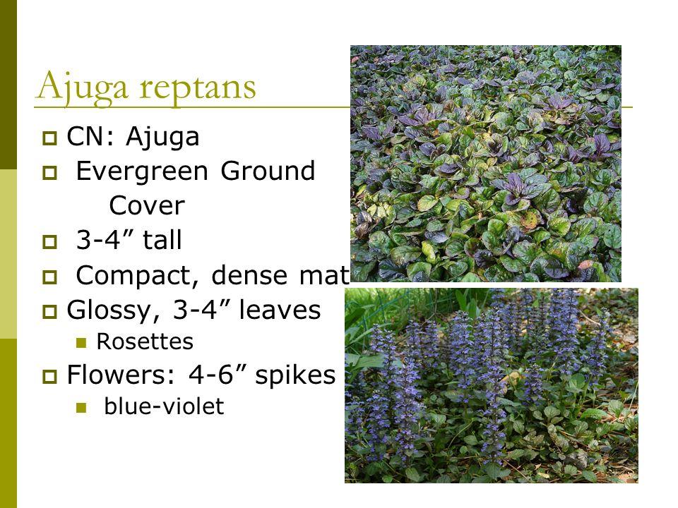 Ajuga reptans CN: Ajuga Evergreen Ground Cover 3-4 tall