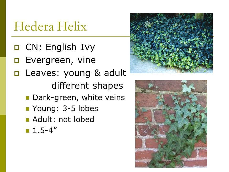 Hedera Helix CN: English Ivy Evergreen, vine Leaves: young & adult