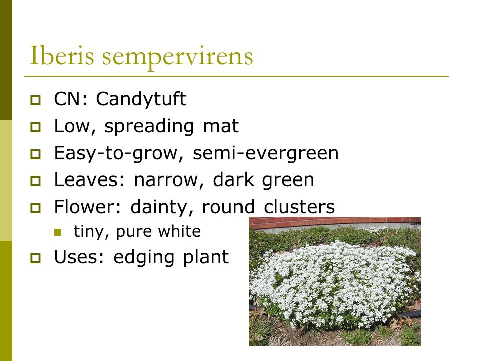 Iberis sempervirens CN: Candytuft Low, spreading mat