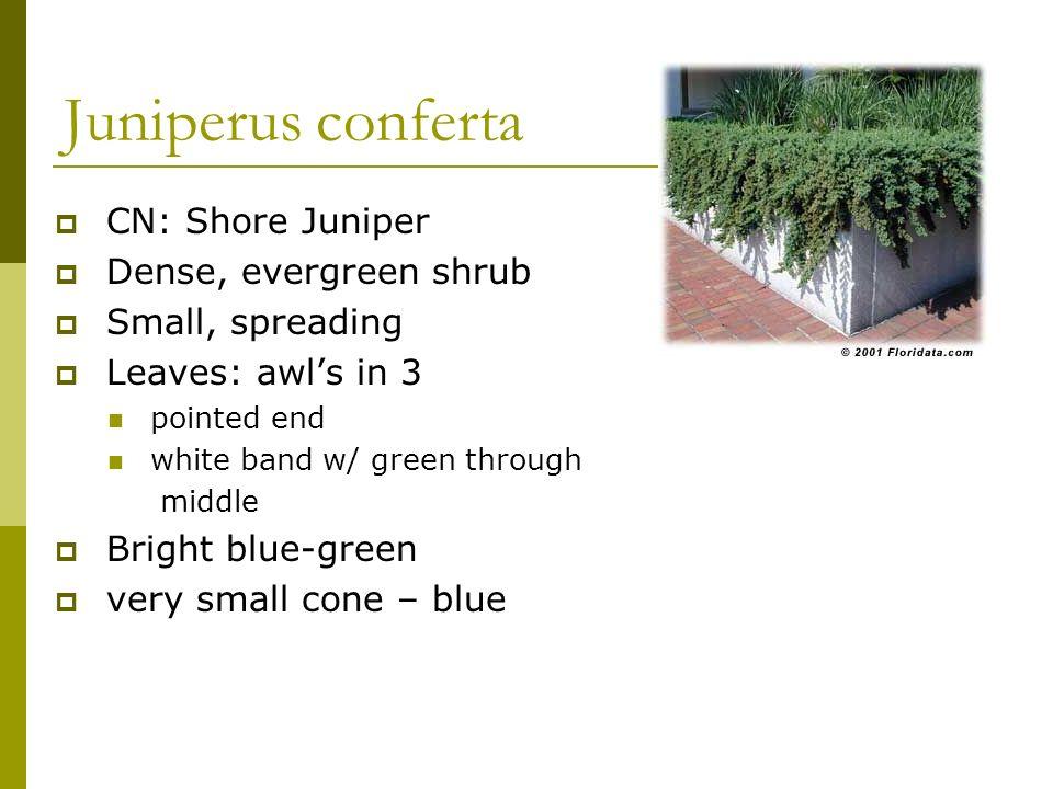 Juniperus conferta CN: Shore Juniper Dense, evergreen shrub
