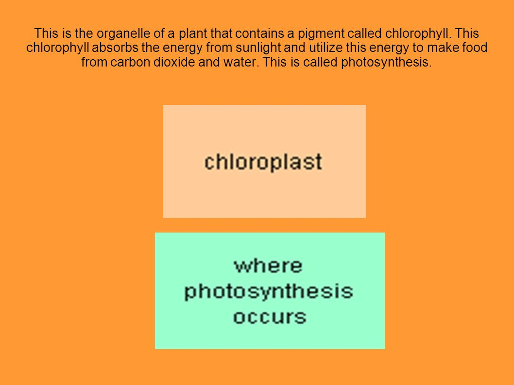 This is the organelle of a plant that contains a pigment called chlorophyll.