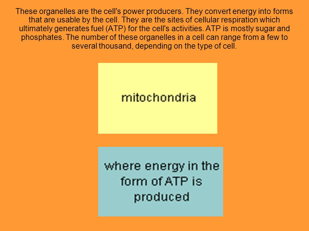 These organelles are the cell s power producers