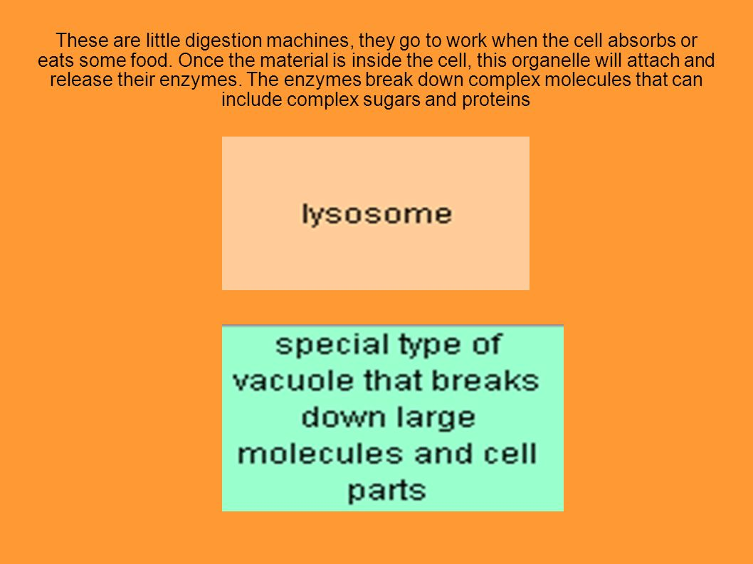 These are little digestion machines, they go to work when the cell absorbs or eats some food.