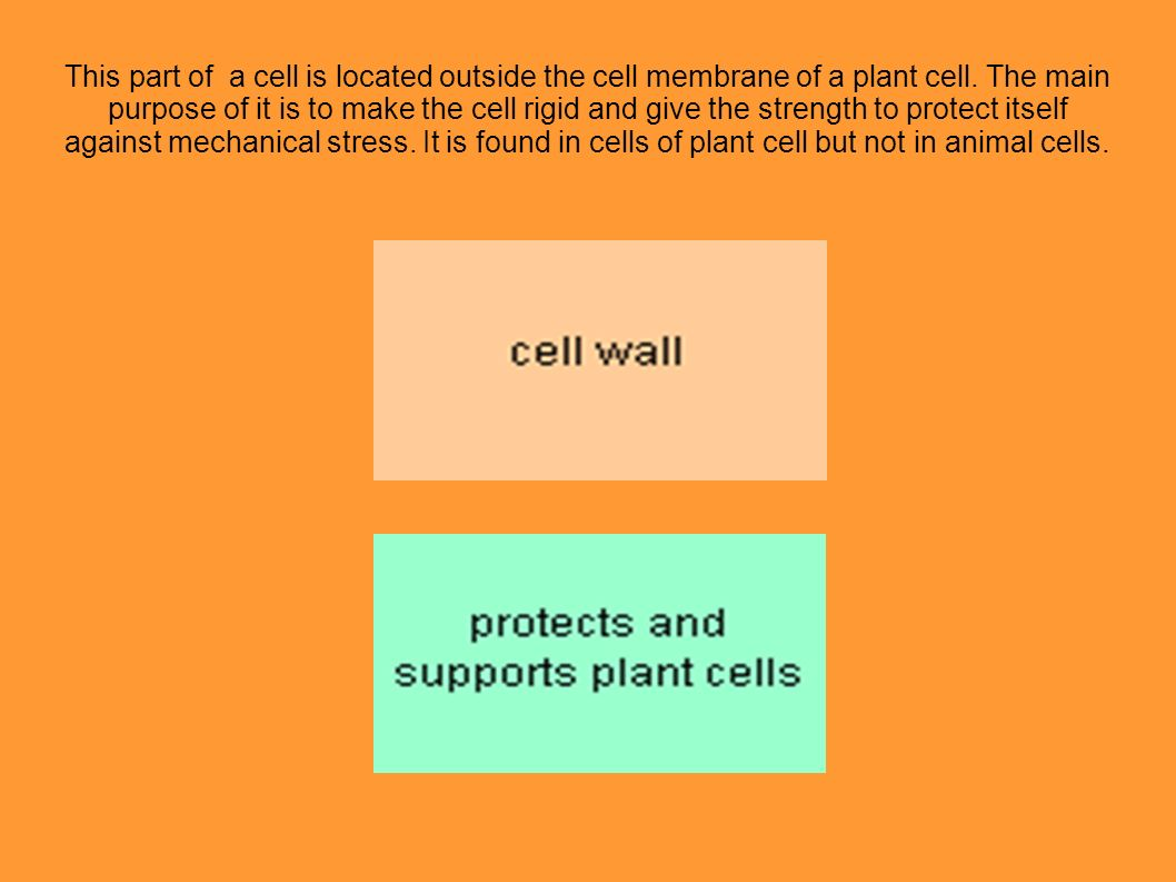 This part of a cell is located outside the cell membrane of a plant cell.