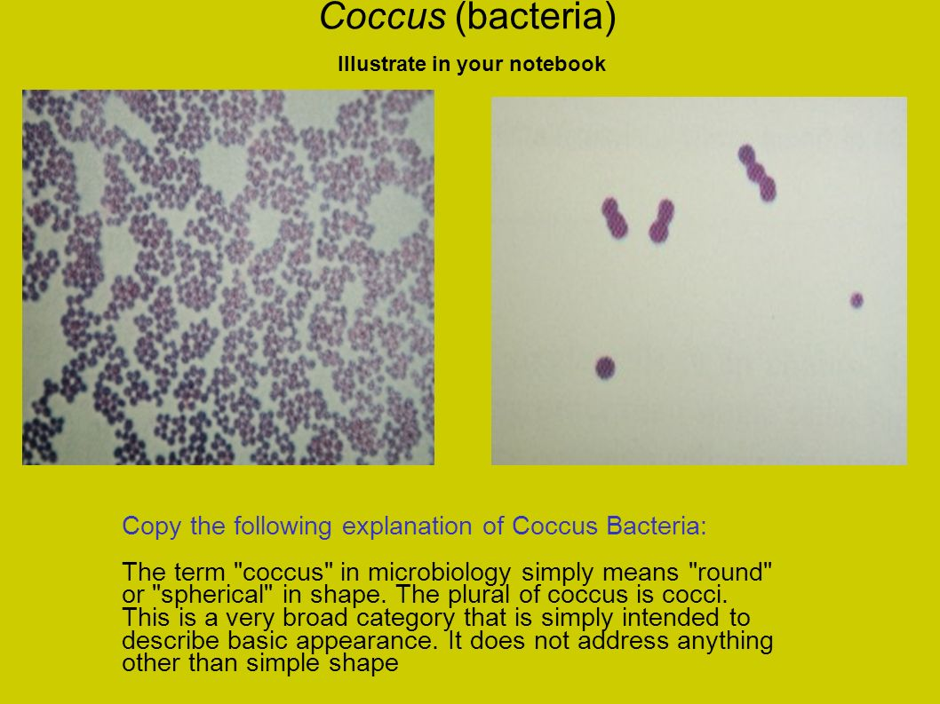 Coccus (bacteria) Illustrate in your notebook