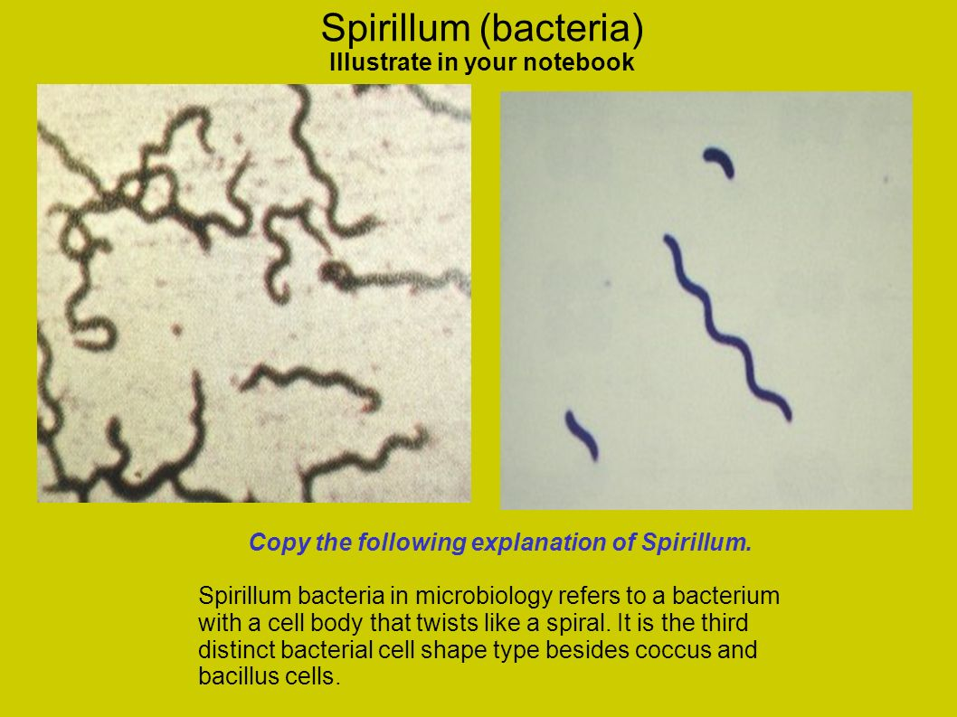 Spirillum (bacteria) Illustrate in your notebook