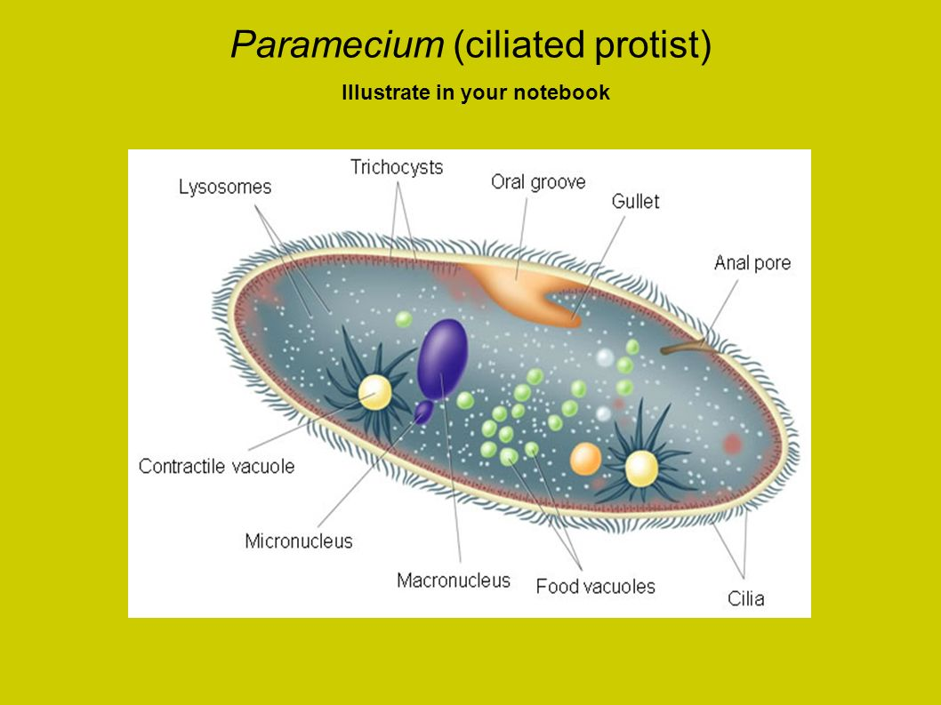 Paramecium (ciliated protist) Illustrate in your notebook