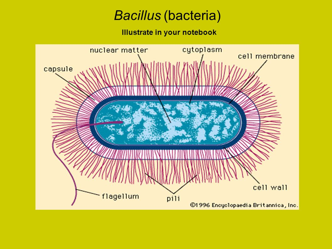 Bacillus (bacteria) Illustrate in your notebook