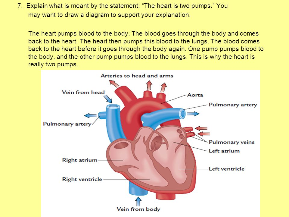 7. Explain what is meant by the statement: The heart is two pumps
