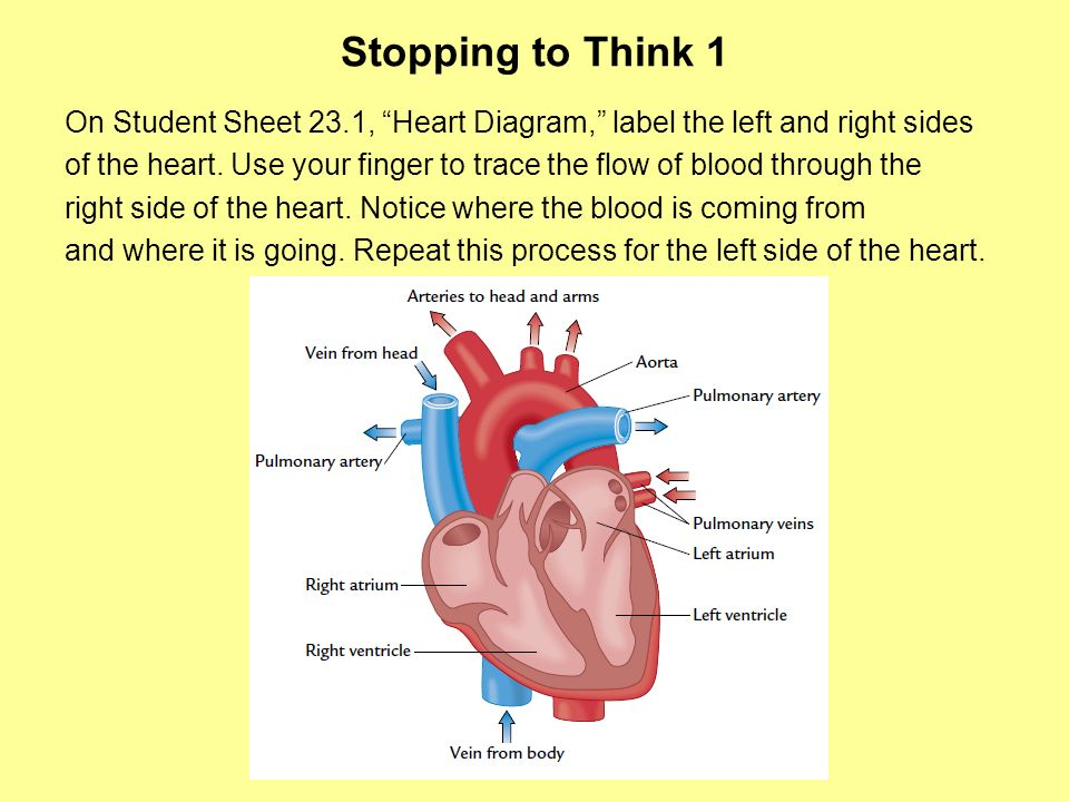 Stopping to Think 1 On Student Sheet 23.1, Heart Diagram, label the left and right sides.