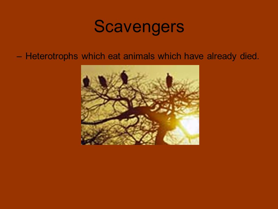 Scavengers Heterotrophs which eat animals which have already died.