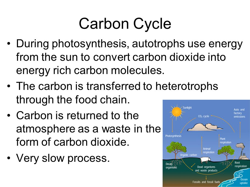 Carbon Cycle During photosynthesis, autotrophs use energy from the sun to convert carbon dioxide into energy rich carbon molecules.