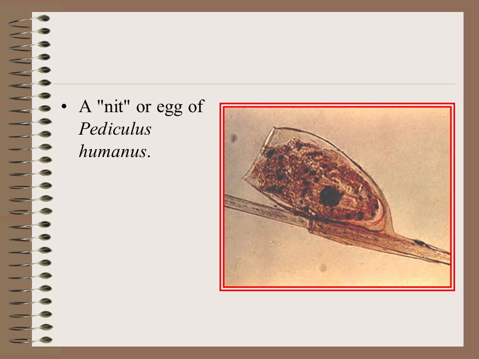 Pediculus Humanus And Phthirus Pubis Ppt Download