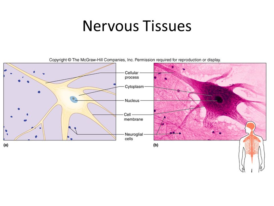 Nervous Tissues