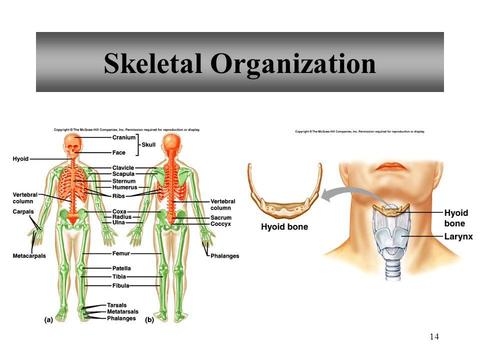 Skeletal Organization