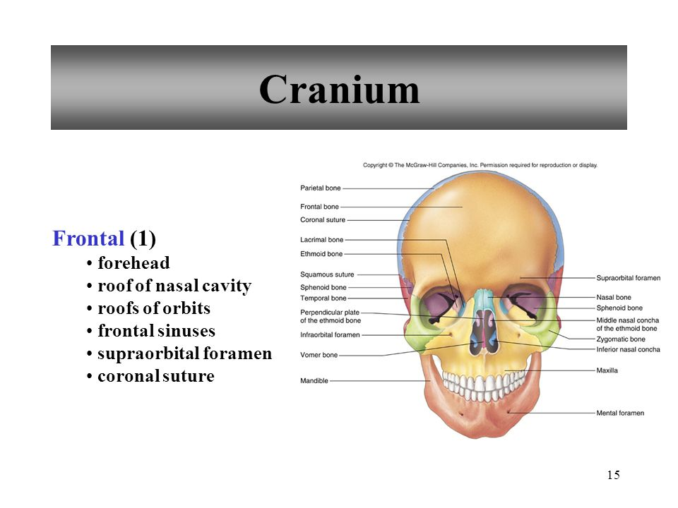 Cranium Frontal (1) forehead roof of nasal cavity roofs of orbits